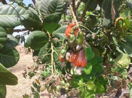 Cashew Farm in Konkan, Village Devle, Tal Sangmeshwar, Dist Ratnagiri, Konkan 3.5 Acres