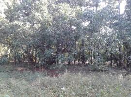 Mango Farm in Devle 47 Guntha
