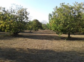 Mango Farm in Devle Sakharpa, Tal Sangmeshwar, Dist Ratnagiri, Konkan 43 Guntha