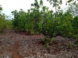 1 Acre Cashew Farm in Harpude, Near Devrukh, Ratnagiri, Konkan